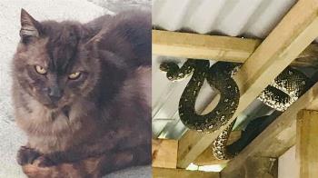 貓皇失蹤2個月 巨蟒盤屋頂…飼主:牠吃的