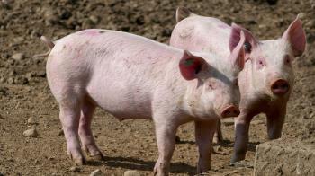 中國非洲豬瘟疫情嚴峻 嚴重衝擊養豬業