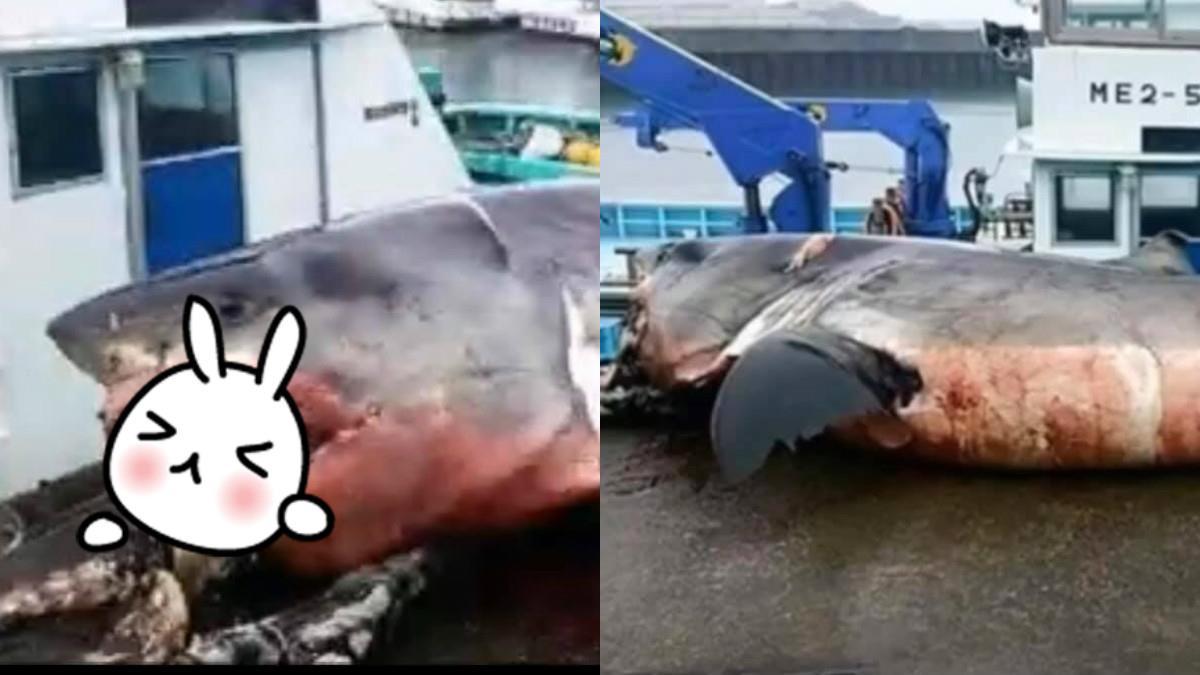 捕獲2041kg大白鯊 狠咬海龜…吞一半活噎死