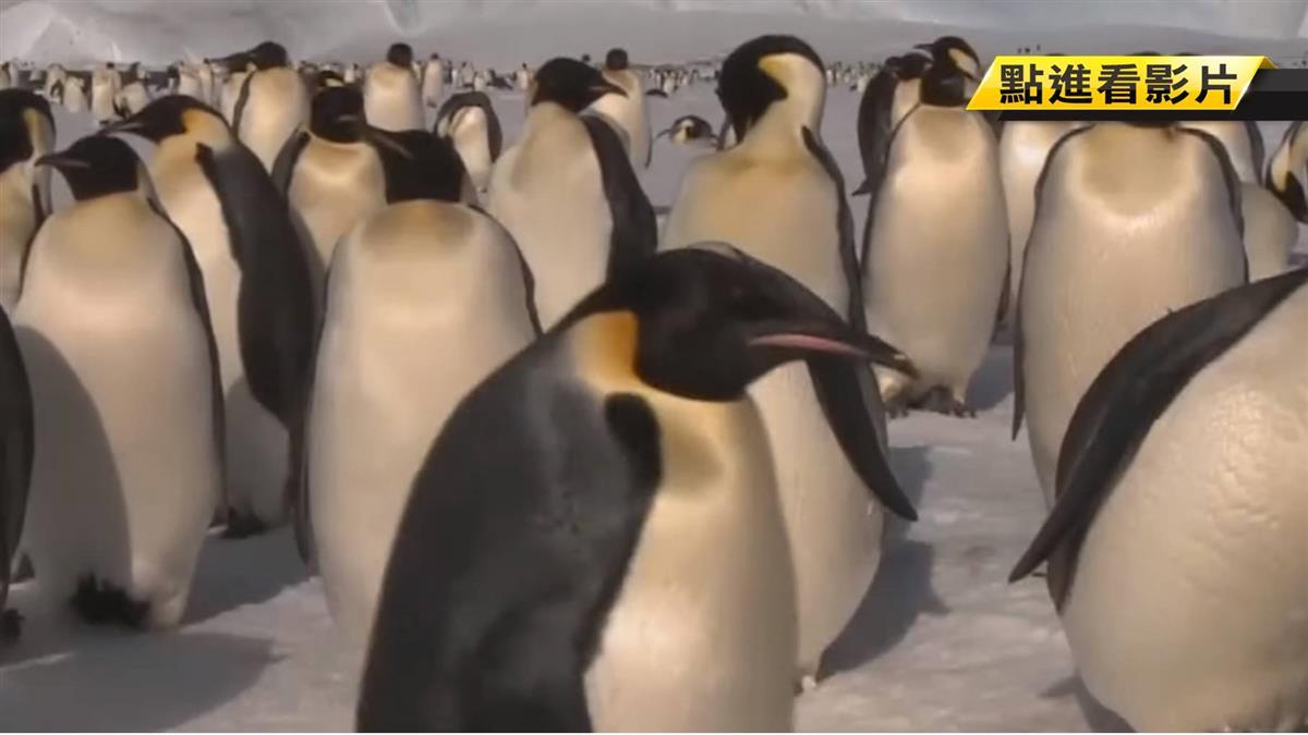 南極洲冰架大裂解 科學家驚:帝王企鵝險滅絕