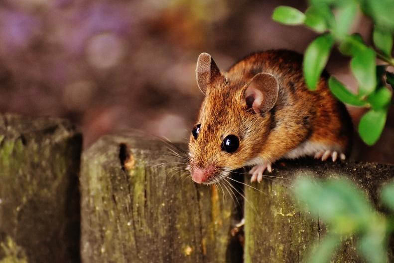 鼠标, 啮齿动物, 可爱, 哺乳动物, Nager, 性质, 动物, 木鼠, 小林姬鼠, 小鼠, 毛皮, 小