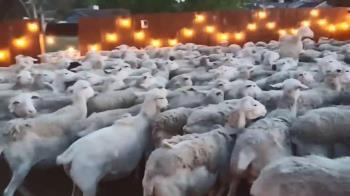 想讓愛女看綿羊!他打開門 竟引上百隻暴動