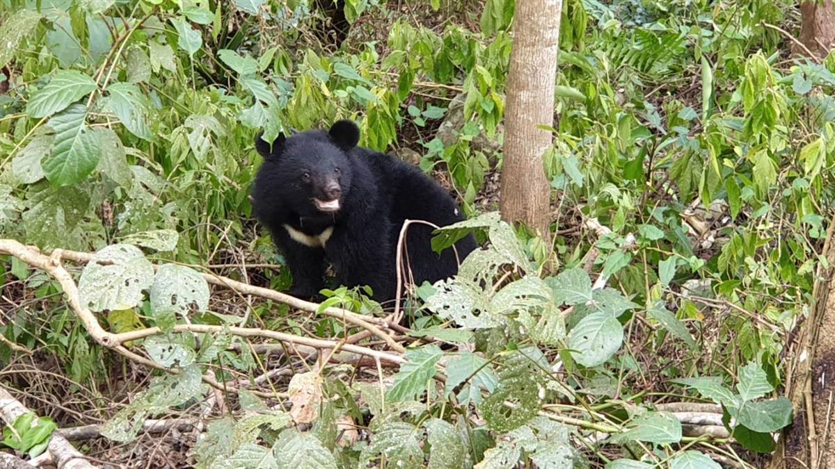花2年紀錄台灣黑熊 白心儀嘆:比拍北極熊還難
