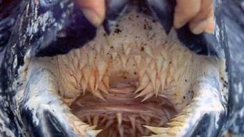 曾現蹤台灣沿岸?世上最大海龜尖牙利齒布滿口腔