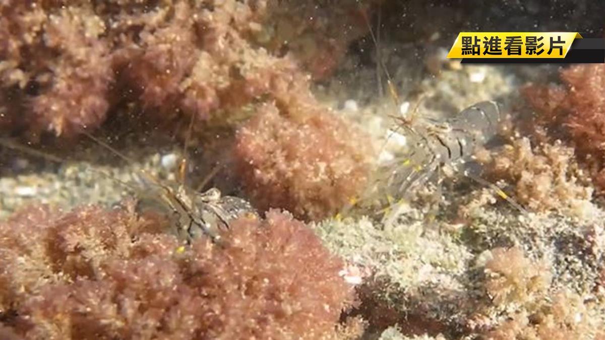 【獨】觀塘區珊瑚現蹤 直擊「七彩水底精靈」