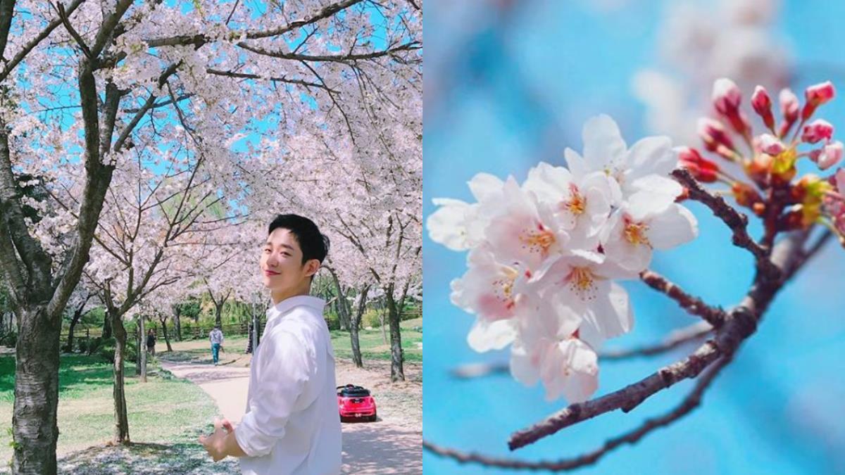 韓國「王櫻花」正盛開!隨便拍都美