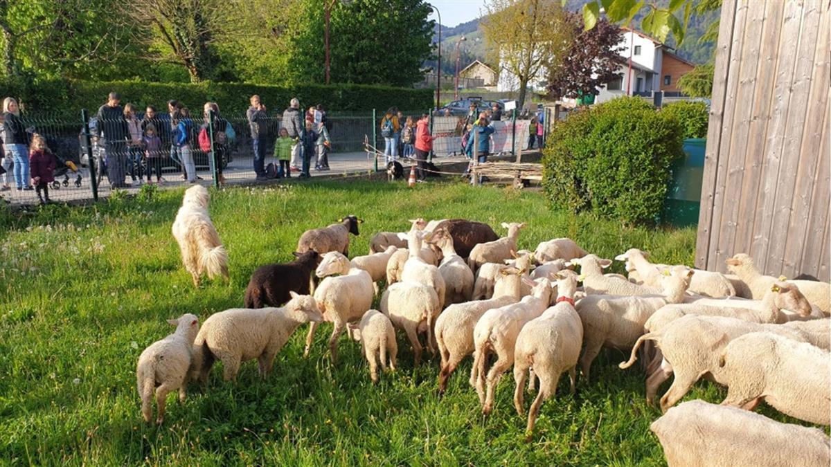 最特別新生!法小學招生不足 竟讓15隻羊入學