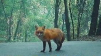 大學招生出奇招 找超萌狐狸代言