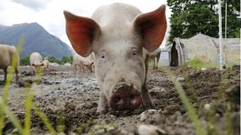 非洲豬瘟襲香港!6千豬隻將全數撲殺 食衛局證實