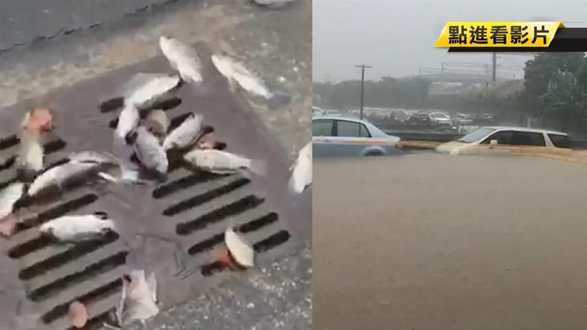 豪雨炸新竹!台鐵北湖水溝蓋 竟出現大批魚群