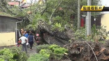 連日豪雨!260年楓香樹倒下…住戶受困