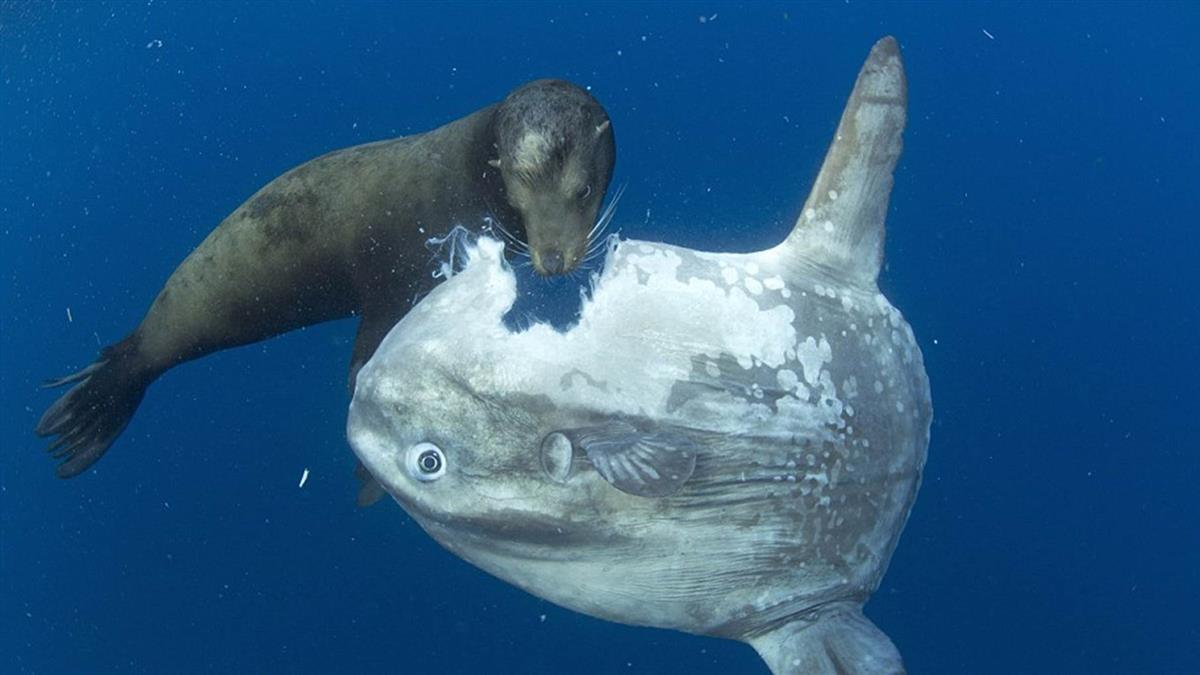 世上最遲鈍的魚!肚被啃掉竟無感 未絕種原因曝光