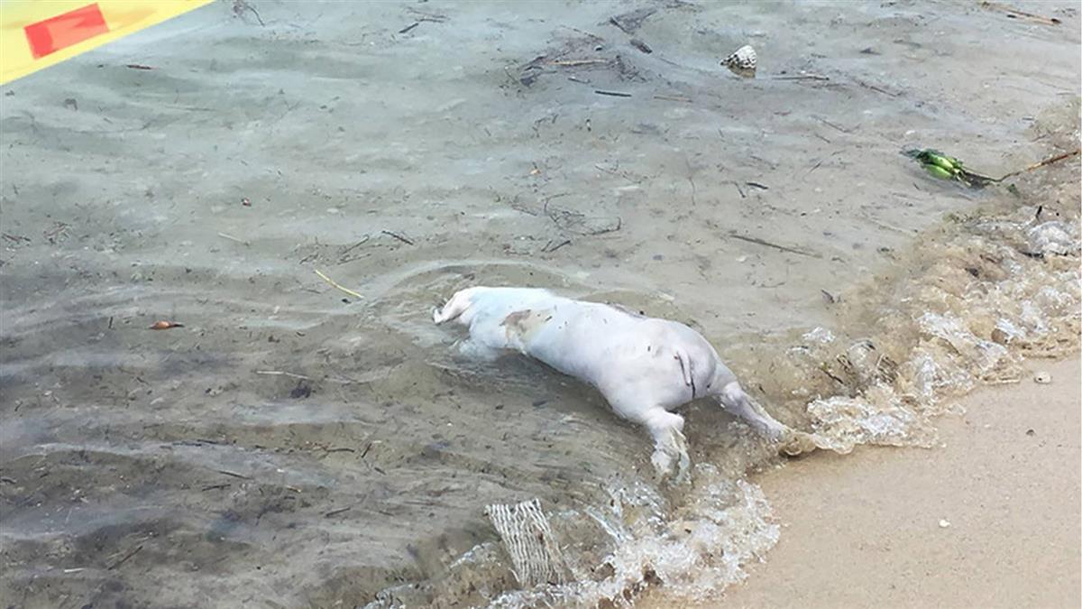 小琉球海岸發現不明豬屍!緊急採樣送檢焚毀