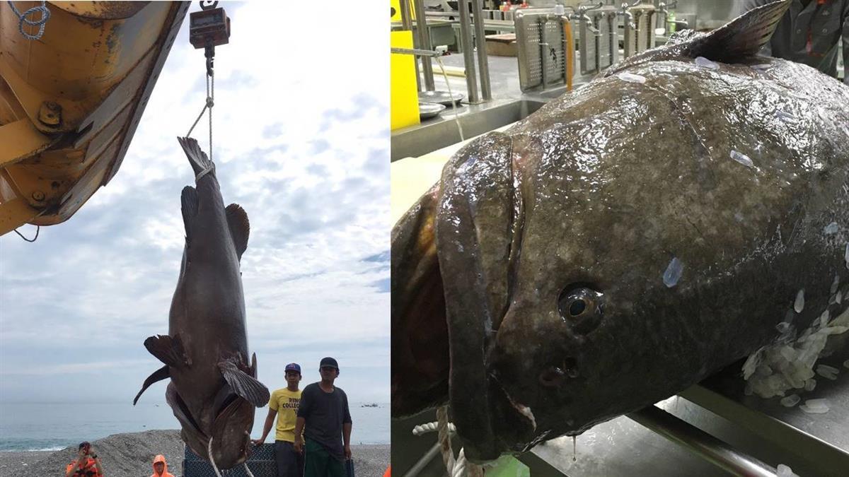 罕見!132公斤龍膽石斑遭吃下肚 網轟太自私