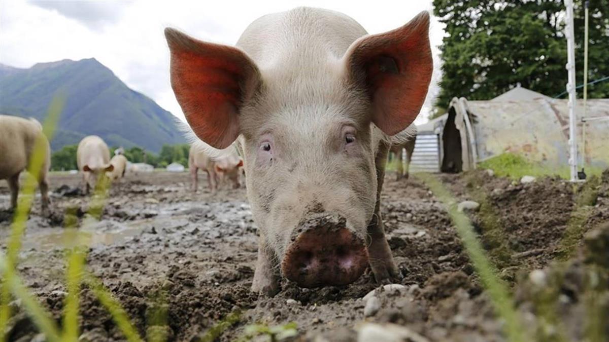 越南非洲豬瘟肆虐48省市 撲殺逾200萬頭