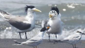 心疼!蘭陽溪鳳頭燕鷗卡塑 想進食無法張嘴