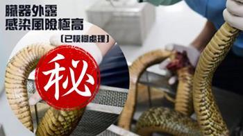 王錦蛇臟器外露…他秒帶就診:聽見蛇在哭