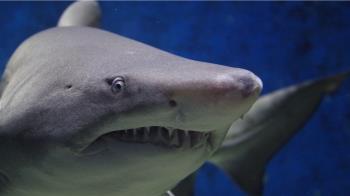 17歲少女被鯊魚咬!陸戰隊父猛擊5拳…牠痛到游走