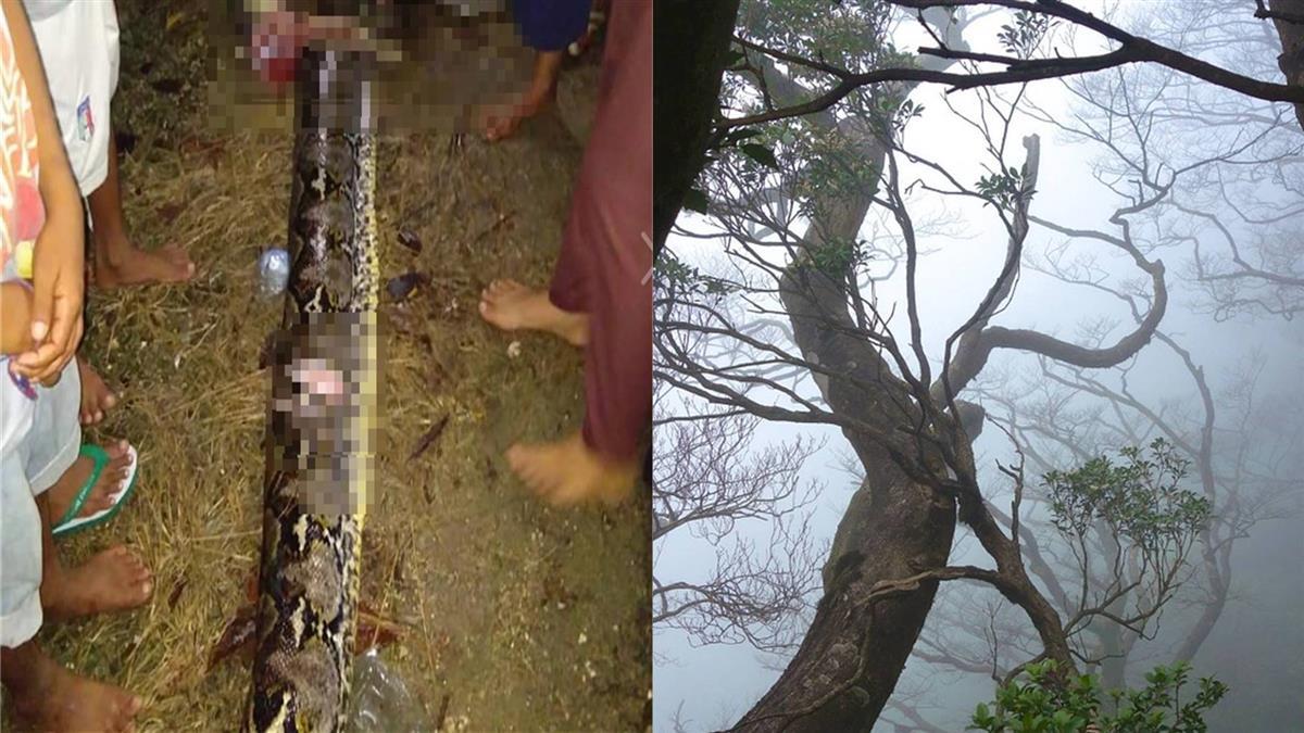 回家路上…5旬婦遇7公尺大蟒蛇 遭活活纏死