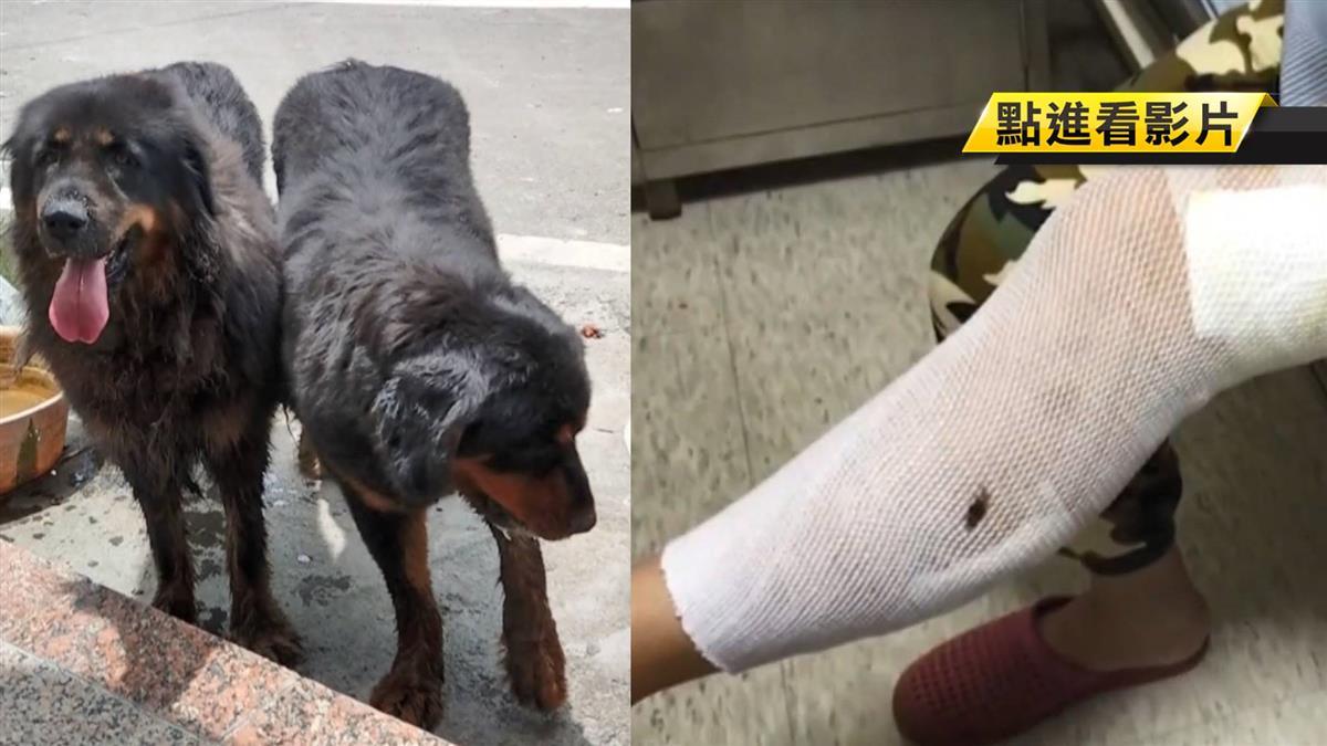 2獒犬溜上街…狠咬婦拖下車 飼主含淚道歉