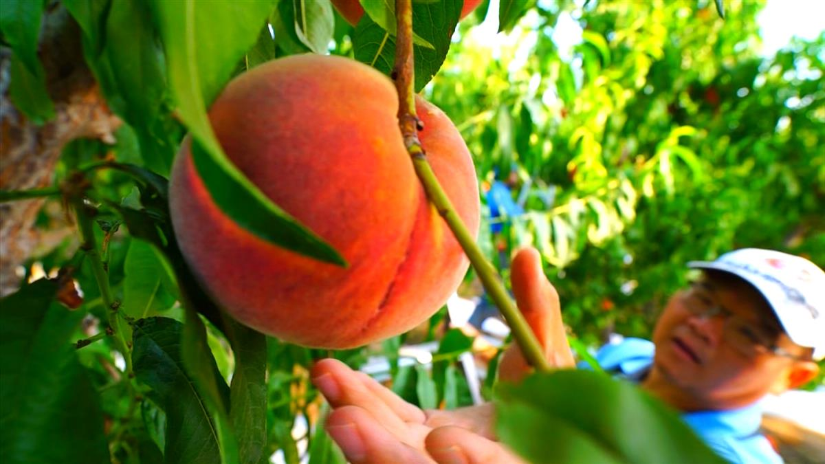 瀕臨房產.農地被拍賣 台灣兄弟谷底翻身成美國水蜜桃大王