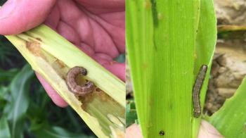 再添2例!台東、宜蘭現稻米型秋行軍蟲