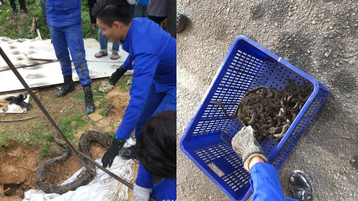 住宅驚見3公尺巨蟒…巢穴29條小蛇裝桶帶走