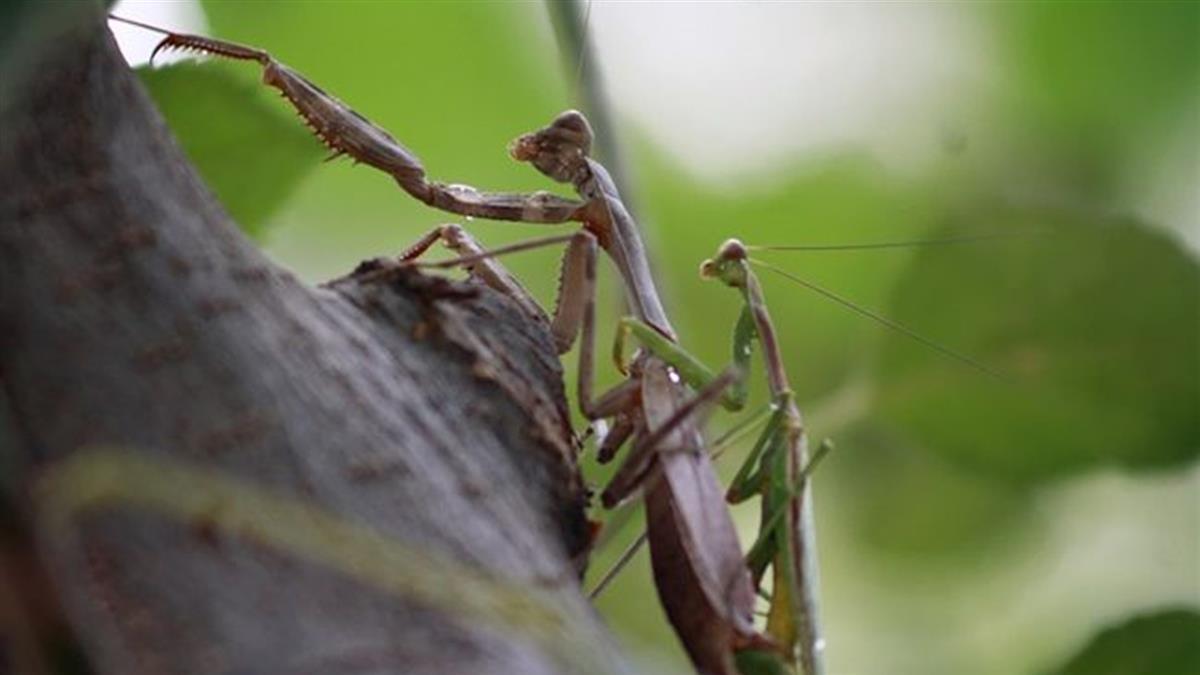 為寶寶犧牲!公螳螂交配被吃掉頭…下身繼續啪