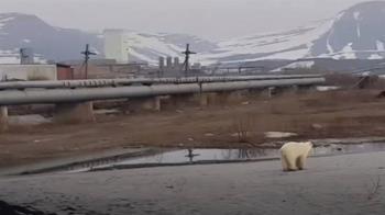 40年首見!飢餓北極熊現身俄國工業城