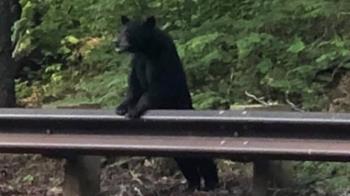 美小黑熊不怕人!當局憂:失控暴走 遭安樂死