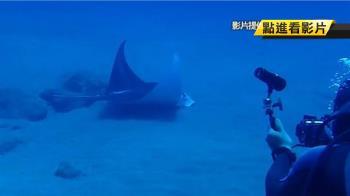 國內首例與鬼蝠魟共游!蘭嶼潛水客:很開心