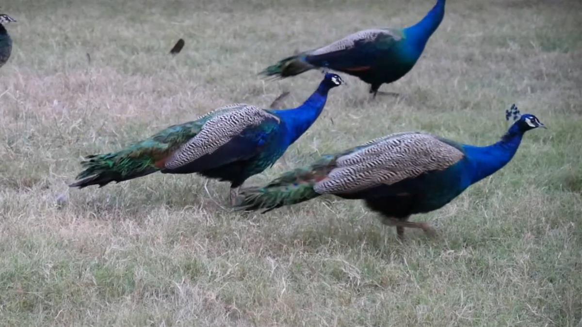 野生孔雀繁衍過剩!金門政府懸賞抓一隻給600