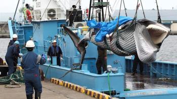 日本重啟商業捕鯨 誇口「100年也不會有壞影響」