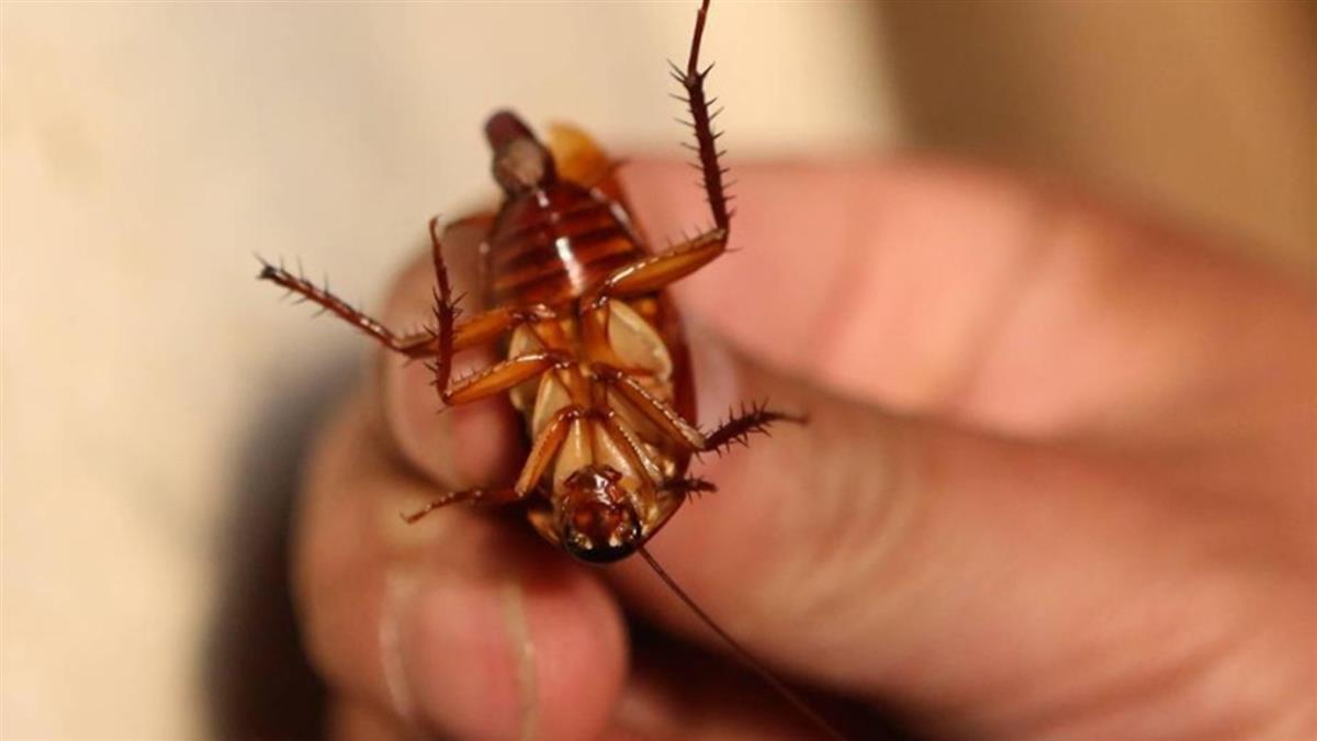 蟑螂對殺蟲劑產生抗藥性 專家:一代增4至6倍
