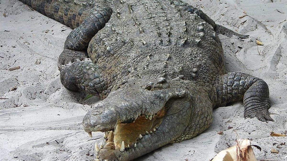 湖邊浪漫約會…情侶驚見10巨鱷搶吃屍塊
