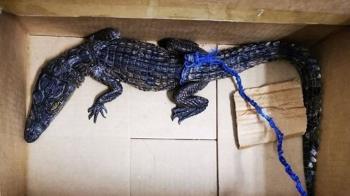 狂男行李箱一開…驚見50cm尼羅鱷 海關傻眼