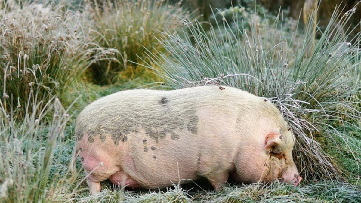 殺豬挖出詭異毛蛋!檢查後竟是價值百萬的…
