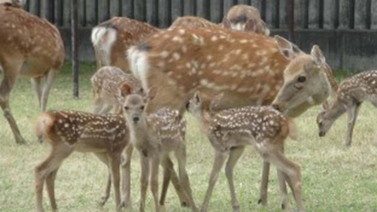 奈良公園9隻鹿慘死 胃塞滿塑膠袋…重4.3公斤