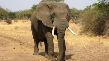 大象破門擄人!7歲女童遭拖走踩踏…遺體慘變形