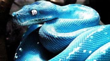 世上最貴的蛇!藍膚鑲水鑽…價逼豪華跑車