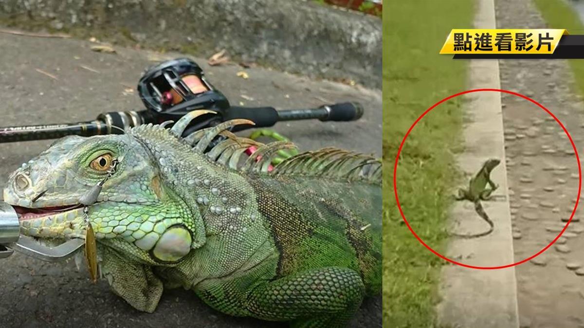 釣到綠鬣蜥!人蜥搏鬥1分後 牠破袋逃生