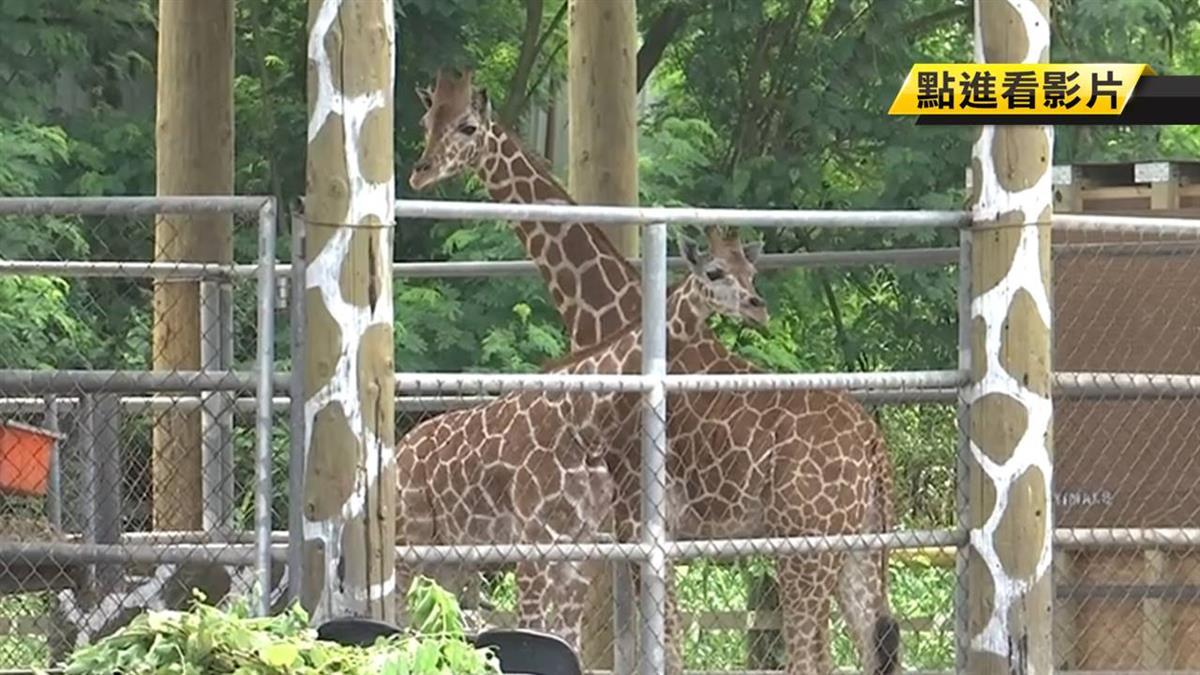 身價一棟透天厝!台南動物園引進一對長頸鹿
