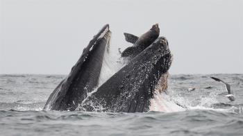 海獅險遭座頭鯨一口吞! 攝影師拍下瞬間…驚呆網