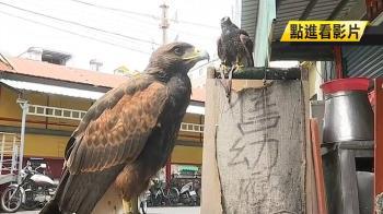 東隆宮旁賣栗翅鷹 業者立牌嗆:歡迎檢舉