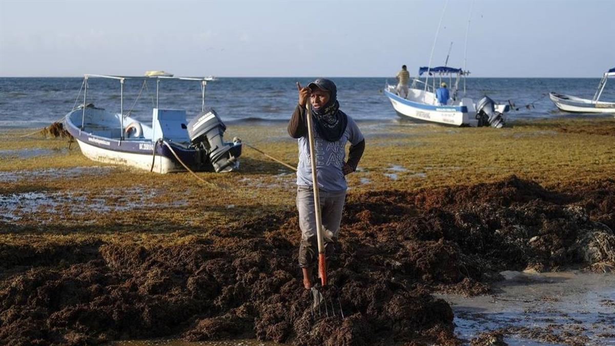 馬尾藻攻佔!湛藍海灘變色 狂飄腐爛味