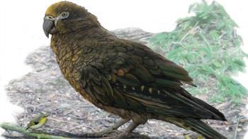 巨大鸚鵡化石紐西蘭出土 身高約為人一半