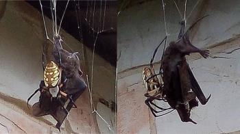 巨型蜘蛛活吞2倍大蝙蝠!屋主驚呆:這餐超補
