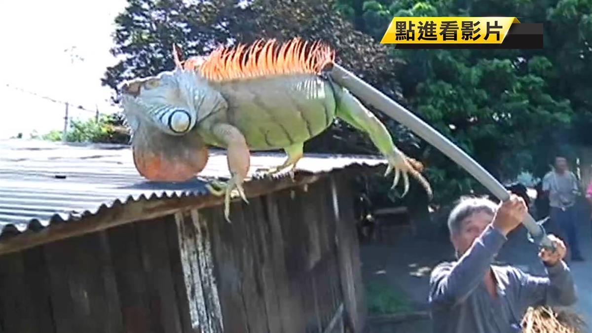 綠鬣蜥列管!購買飼養得登記 違者最高罰5萬