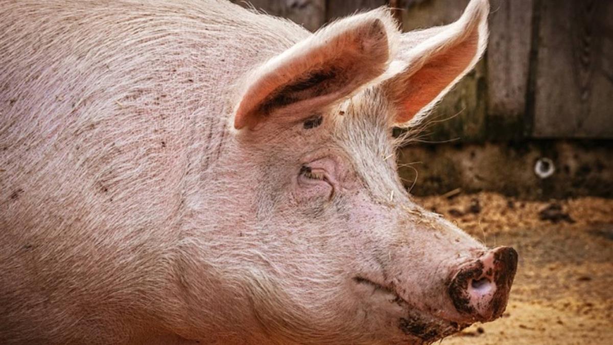 防非洲豬瘟  19日起菲國入境手提行李X光檢查