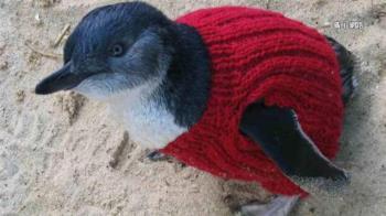 沾油污猛啄毛!澳洲小企鵝靠「康復毛衣」過冬